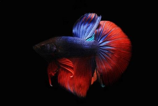 do-betta-fish-need-light
