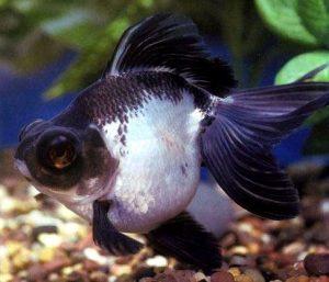 panda goldfish