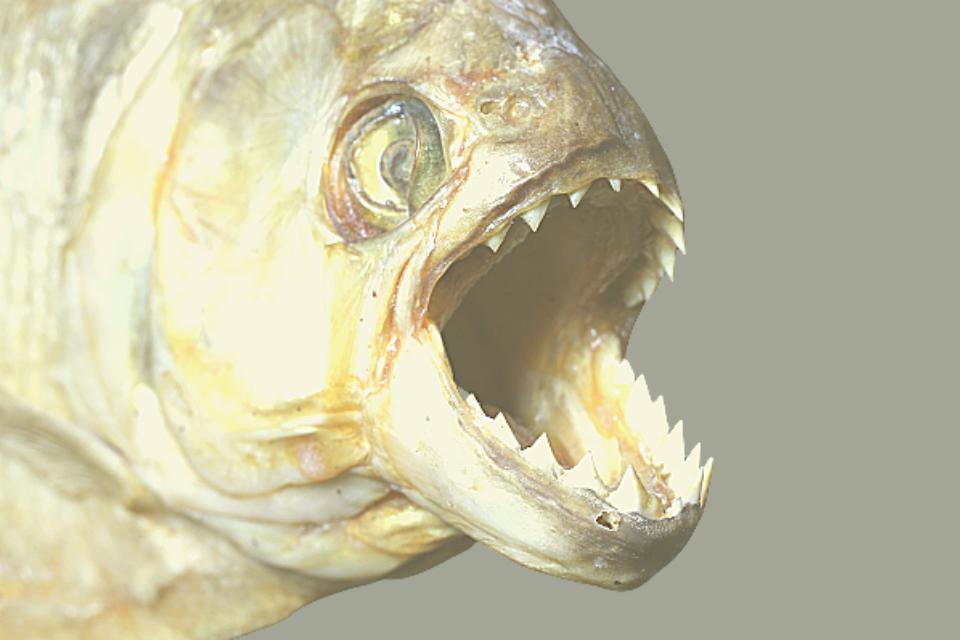 piranhas dangerous