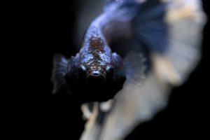Betta Fish at Bottom of Tank Not Moving